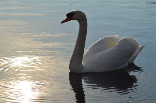 gulbė,ežeras,paukštis,vanduo,tvenkinys,didingas,gyvūnas,gamta,taikus,didybė,balta,atspindys,plunksnos