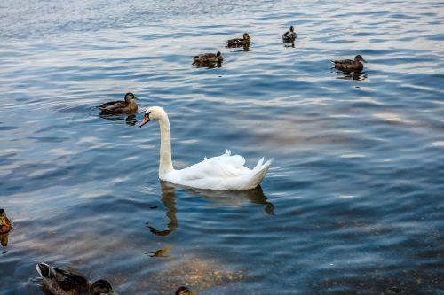 gulbė,vanduo,balta,gamta,gyvūnų pasaulis,paukštis,gražus,gyvūnas,grakštus,elegantiškas,atspindys,laukiniai,plunksna,romantika,širdis,ežeras,poilsis,Grynumas,sparnas,plaukti,tvenkinys,kaklas