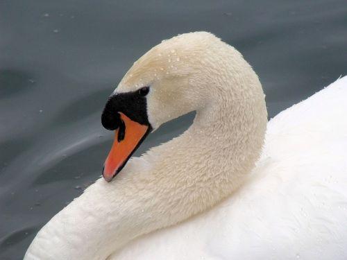 gulbė,siaubingas,paukštis,balta,ramus,elegancija,plunksna,galva,poilsio