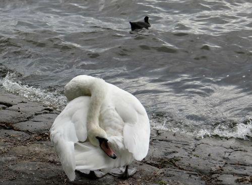 gulbė,vandens paukštis,balta,juokinga,sportiškas