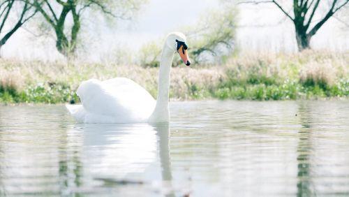 gulbė,gamta,vandens paukštis,gyvūnas,vanduo,gulbės,paukštis,baltas gulbis,ežeras,balta,vandenys,pasididžiavimas,plaukti,schwimmvogel,Cygnet,upė,pavasaris,gulbė jauni,nutildyti gulbė,kūdikių gulbė,medžiai,pranešta,kraštovaizdis,dangus
