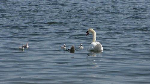 gulbė, jauni gulbės, jauna gulbė, Kūdikių gulbė, Swan šeima