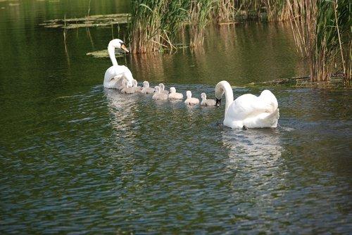 gulbė, gulbės, balta gulbė, vanduo paukštis, schwimmvogel, gulbė šeimos, Swan kūdikis, Kūdikių gulbė, jauni gulbės