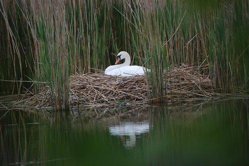 gulbė, Swan lizdą, veisti, alpus gulbė, gulbės, gulbė pora, vandens paukščiai, Gulbė kiaušiniai