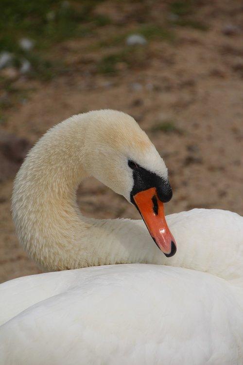 gulbė, gulbė nebylė, paukštis, rašiklis, balta gulbė, baltos plunksnos