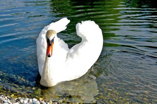 gulbė,paukštis,vandens paukštis,ežeras,vandenys,gyvūnų pasaulis,ančių paukštis,elegantiškas,bankas