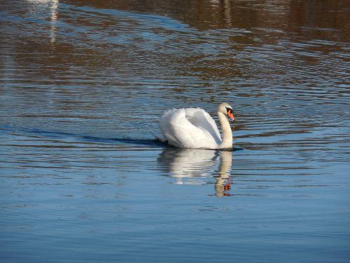 gulbė,elegancija,ežeras