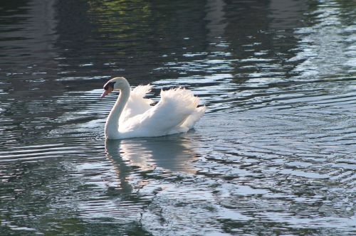 gulbė,ežeras,balta,vanduo,paukštis,atspindys,ramus,tvenkinys,taikus,elegantiškas,maudytis,plumėjimas,malonė,natūralus,Grynumas,plunksna,grakštus,laukinė gamta