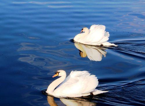 gulbės,pora,pasididžiavimas,plumėjimas,ežeras,ežero konstanta,Rorschach