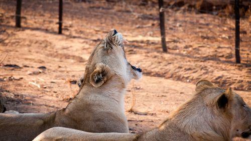 Svazilandas,afrika,brangus,liūtas,natūralus,vyriškas liūtas,liūtas,krūva,gab,parodyti dantis