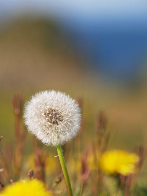 Švedija,vasara,geltona,gėlės,gamta,Švedijos,Švedijos vasara