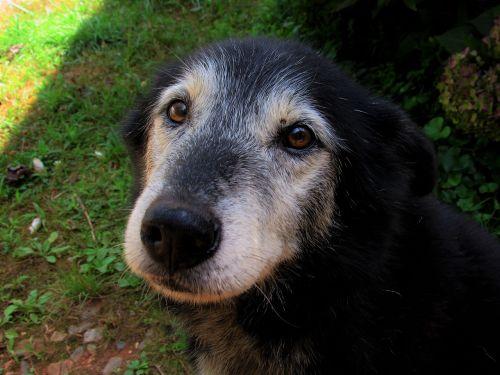 saldus,senas,šuo,švelnus,akys