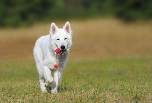 Šveicarijos aviganis,šuo,balta,gyvūnas,žaisti,naminis gyvūnėlis