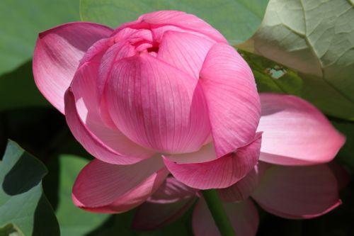 Sidnėjus, botanikos, sodas, lotosas, gėlė, žiedas, Sidnėjaus botanikos sodo lotoso gėlė