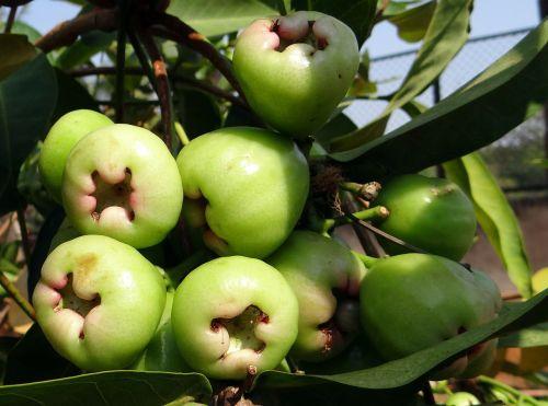 syzygium samarangense,vaisiai,atogrąžų,eugenia javanica,vaško obuolys,mylėti obuolį,java obuolys,karališkasis obuolys,Dharwad,Indija