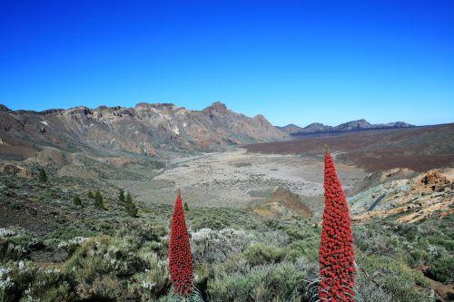 tajinaste rojo,teide,Tenerifė,vulkanas,el teide,nacionalinis parkas teide,Kanarų salos,raudona