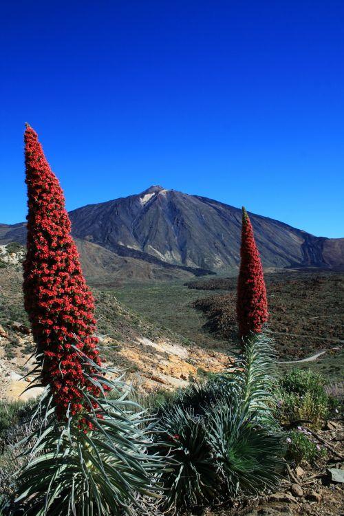 tajinaste rojo,teide,Tenerifė,raudonos gėlės,Teide nacionalinis parkas,žvakės formos,gėlė,raudona žydėjimo tajinaste
