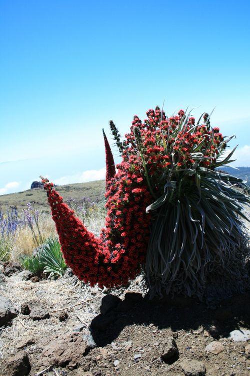 tajinaste rojo,Tenerifė,raudonos gėlės,Teide nacionalinis parkas,raudona žydėjimo tajinaste,echium