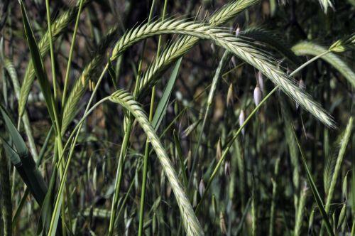 žolė, aukšta & nbsp, žolė, augalas, žalias, lauke, gamta, sodas, žolė & nbsp, peiliukai, laukiniai & nbsp, augalai, aukšta žalia žolė