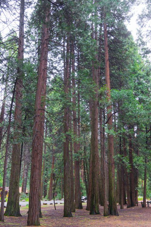 Kalifornija, klasteris, aplinka, miškas, nacionalinis & nbsp, parkas, gamta, lauke, parkas, parkland, pušis & nbsp, medžiai, dangus, vaizdas, dykuma, miškai, josemitas, yosemitas & nbsp, nacionalinis & nbsp, parkas, aukšti pušys jošemituose