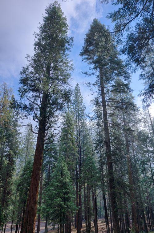 Kalifornija, klasteris, aplinka, miškas, nacionalinis & nbsp, parkas, gamta, lauke, parkas, parkland, pušis & nbsp, medžiai, dangus, vaizdas, dykuma, miškai, josemitas, yosemitas & nbsp, nacionalinis & nbsp, parkas, aukšti sierra nevada pušys