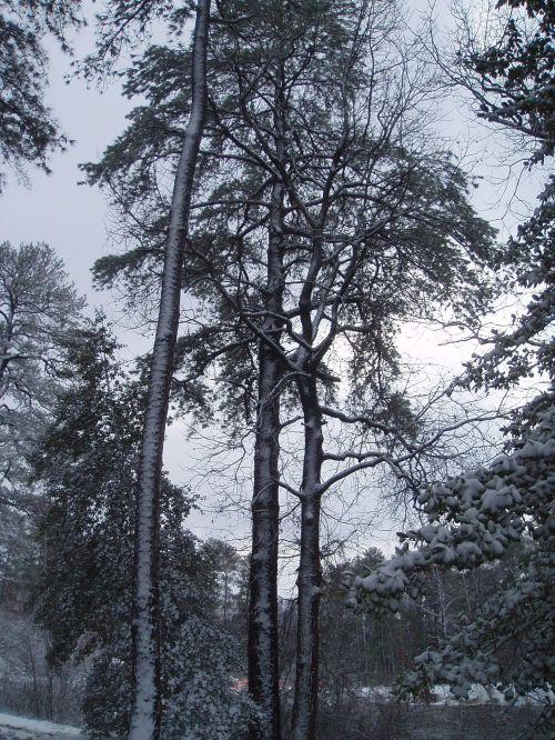 sniegas, snieguotas, padengtas, žiema, pušis, medis, užšaldyti, aukšti snieguotų medžių