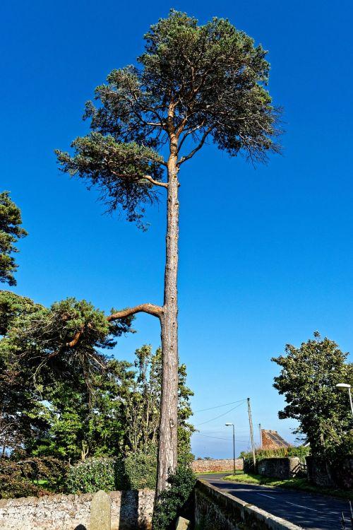 aukštas medis,aukštas,medis,aukštas,gamta,dangus,vasara,lauke,natūralus,mėlynas,filialas,vaizdingas,lapija,žalias,bagažinė,scena,mediena,perspektyva