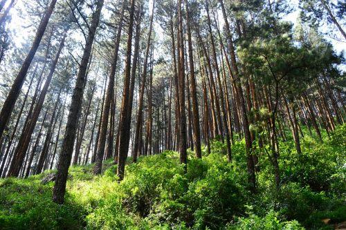 aukšti medžiai,pušys,tress,pušynas,loolecondera,delta,Šri Lanka,ceilonas