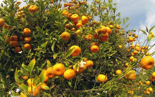 mandarinas, mandarinai, medis, vaisiai, vaisius & nbsp, medis, dangus, mėlynas, oranžinė, pavasaris, maistas, mandarino medis