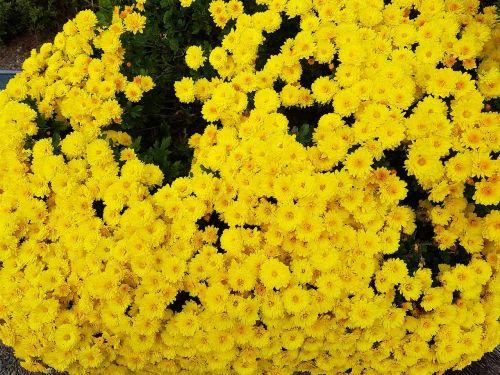 taurus šalis,geltonos chrizantemos,kritimo gėlės,sodam prabanga,gėlės,chrizantema,ruduo,geltonos gėlės,asteraceae,gamta