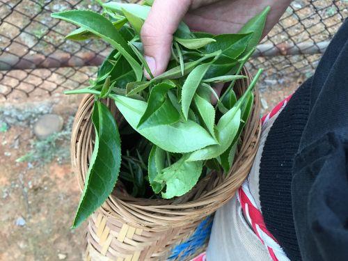 arbata,šviežias,augalas,Taivanas