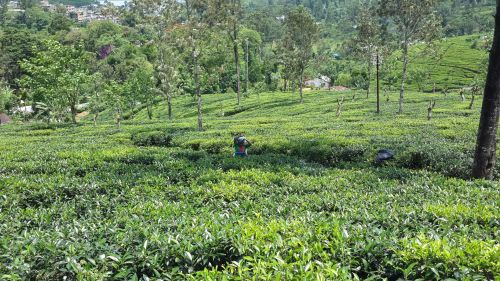 arbata & nbsp, rinkimas, arbata, šviežia & nbsp, arbata, sri & nbsp, lankan & nbsp, arbata, žalia & nbsp, arbata, Hatton, arbata