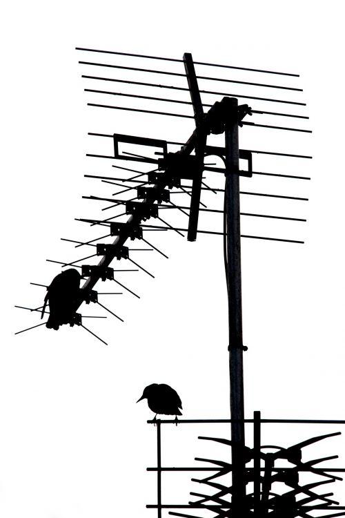 antena & nbsp, - & nbsp, antena, namas, gyvenamasis namas, Televizija & nbsp, antena, balta & nbsp, fonas, menas & nbsp, kultūra & nbsp, pramogos, transliavimas, kaminas, spalvotas & nbsp, vaizdas, komunikacija, siluetas, tiesiai & nbsp, žemiau, namuose & nbsp, gyvenimas, elektromagnetinis, bendrinis, paukštis, televizijos antena
