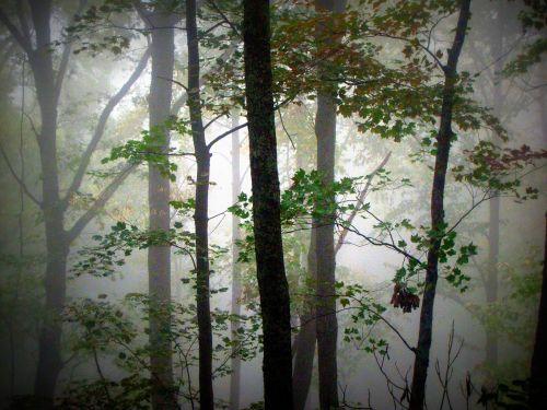 medžiai, rūkas, miškas, miškai, rytas, Tennessee, Tennessee