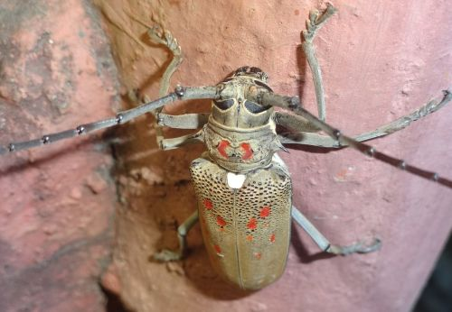 čiuptuvai,vabzdys,laukinė gamta,klaida,mažas,antenos,laukiniai,krūtinės angina,entomologija,lauke,gyvenimas,gamta,bestuburiai