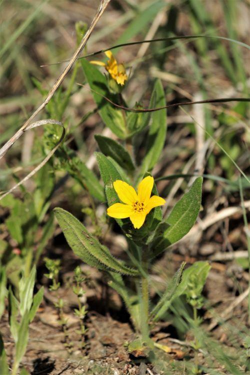 gamta, gėlės, geltonos spalvos & nbsp, gėlės, laukinės vasaros spalvos, geltonos ir laukinės vasaros spalvos, texas & nbsp, geltona & nbsp, žvaigždutė, pavasaris & nbsp, laukinės spalvos, Oklahoma & nbsp, wildflowers, šalies laukas, žalios spalvos & nbsp, lapai, žalia žolė, pavasaris, Teksaso geltona žvaigždė laukinės spalvos 2