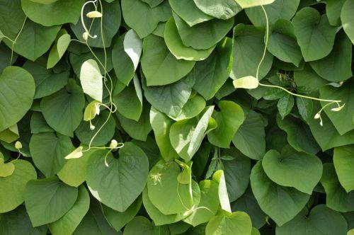 tekstūra,lapai,šviesa,saulė,žalias,uždaryta,labai,augalas,botanika,sodas,botanikos,krūmas,vasara