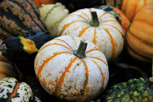 padėka,dekoratyviniai skvošaičiai,sezoninis rudens apdaila,Halloween,apdaila,kelių spalvų,žalia geltona,sodo apdaila,gartendeko,moliūgai,metų laikas,ruduo,rudens apdaila,Spalio mėn,rudens motyvas,Žemdirbystė,derlius,sodas,žalias,botanika,farbenpracht,vasaros pabaigoje,zierkürbis vietose,dekoratyvinis tikslas