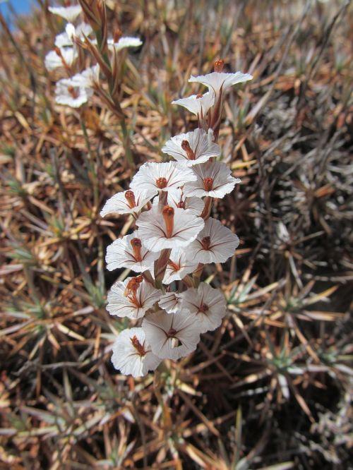 acantholimonas, Primozė, augalas, gėlė, flora, balta, gamta, isparta turkey, yra verpimas, ežeras, lakas, flora Turkija, Turkija