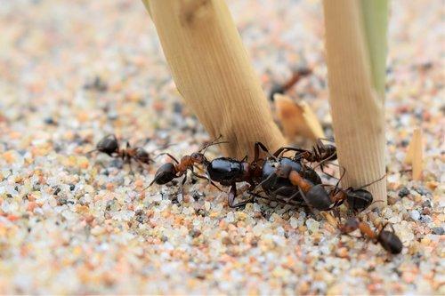 skruzdžių, laimikis, valgyti
