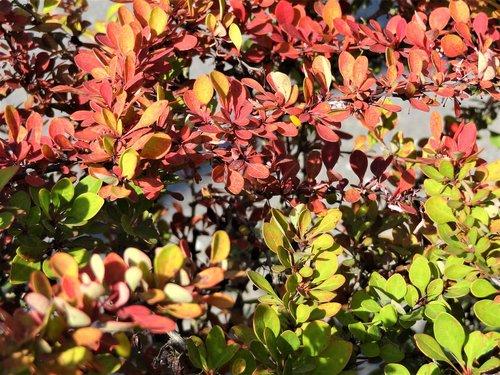 gamtos grožis, pobūdį, augalai, krūmai, vasara, dažančiosios lakštai, Spalvingi lapai, vasaros grožis