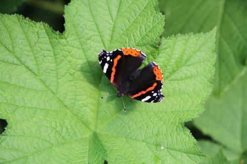drugelis ant lapo,drugelis ant rosenalono lapų,drugelis