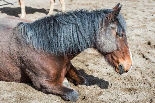 arklys,arklio galva,gulėti arklys,ruda,Žmogus,lenkų arklys,įlanka,Žmogaus arklys,Konik