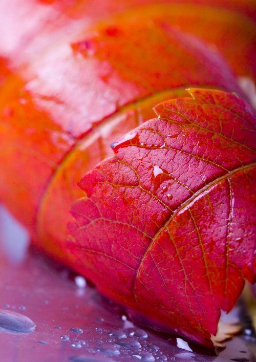 lapai,spalvoti lapai,raudoni lapai,geltonieji lapai,žali lapai,akiba,fotografija,biologinis pasaulis,medžių lapai