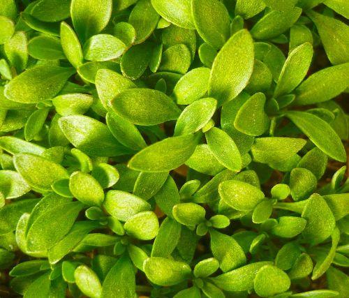 lapai yra,žalias,šviežias,augalas,lapai,sodas,natūralus,makro,Uždaryti,Turkija