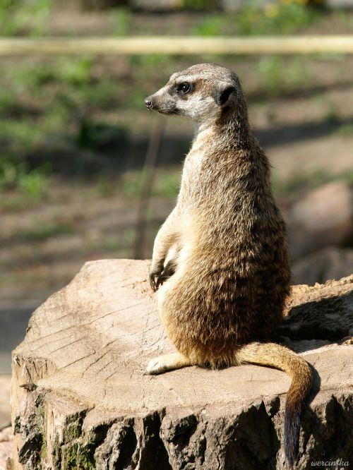 meerkat,surykatka,gyvūnas,žinduolis,poilsis,naminis gyvūnėlis,poilsio,zoologijos sodas,gamta,laukinis gyvūnas,fauna,jaunas gyvūnas