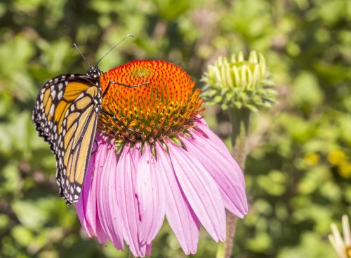graži, ramybė, modelis, monarchas & nbsp, drugelis, ramybė, ryškus, gražus, apsvaiginimo, spalvinga, milkweek & nbsp, drugelis, vabzdys, entomologija, drugelis, monarchas