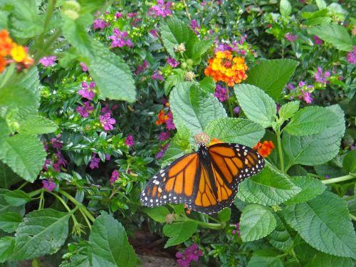 monarchas, drugelis, gėlės, gamta, monarchas