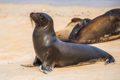 Šiaurės Ramiojo vandenyno jūrų liūtai,Steinmanno jūrų liūtai,jūros asilas,juros liutai,gyvūnas