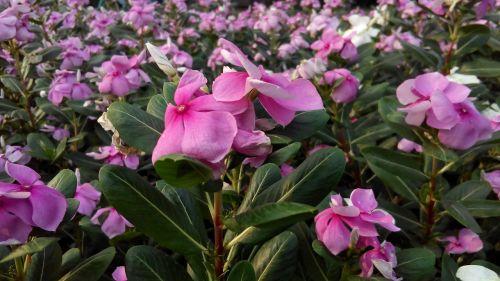 rausvos gėlės,gėlės,gėlių sodas,gamta,rožinis,krūmų gėlės,augalas,sodas,žydi,vinca gėlė,kriauklė,baltos gėlės,gėlė catharanthus roseus
